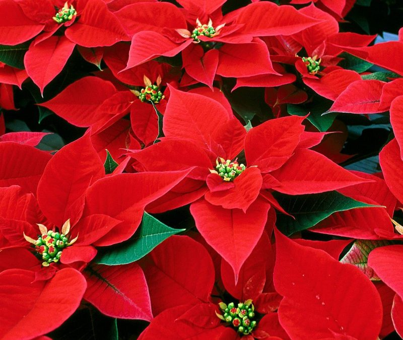 Poinsettias Now Available for Order